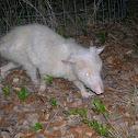 albino Virginia Opossum