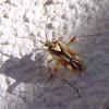 Chinche Lygus. Bug