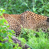 Wild Sri Lankan Leopard
