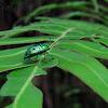 Metallic Green Shield-backed Bug