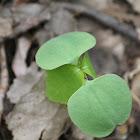 jewelweed seedling?