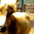 Gypsy Pony