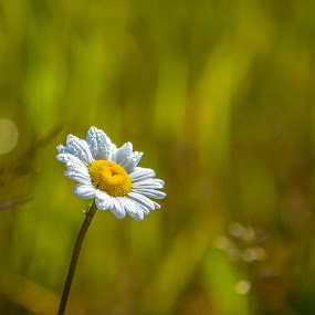 Single Daisy. by Sylvie Berube Tenniscoe - Flowers Flowers in the Wild ( nature, outdoor, color., pretty, flower,  )