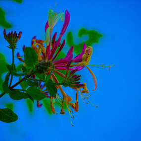 Beauty Abound by Gerard Toney - Flowers Flower Buds ( plant, honeysuckle, beauty, flower, colours )