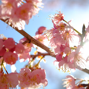 sakura by 冠霖 杜 - Flowers Flowers in the Wild