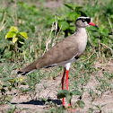 Crowned Lapwing Plover