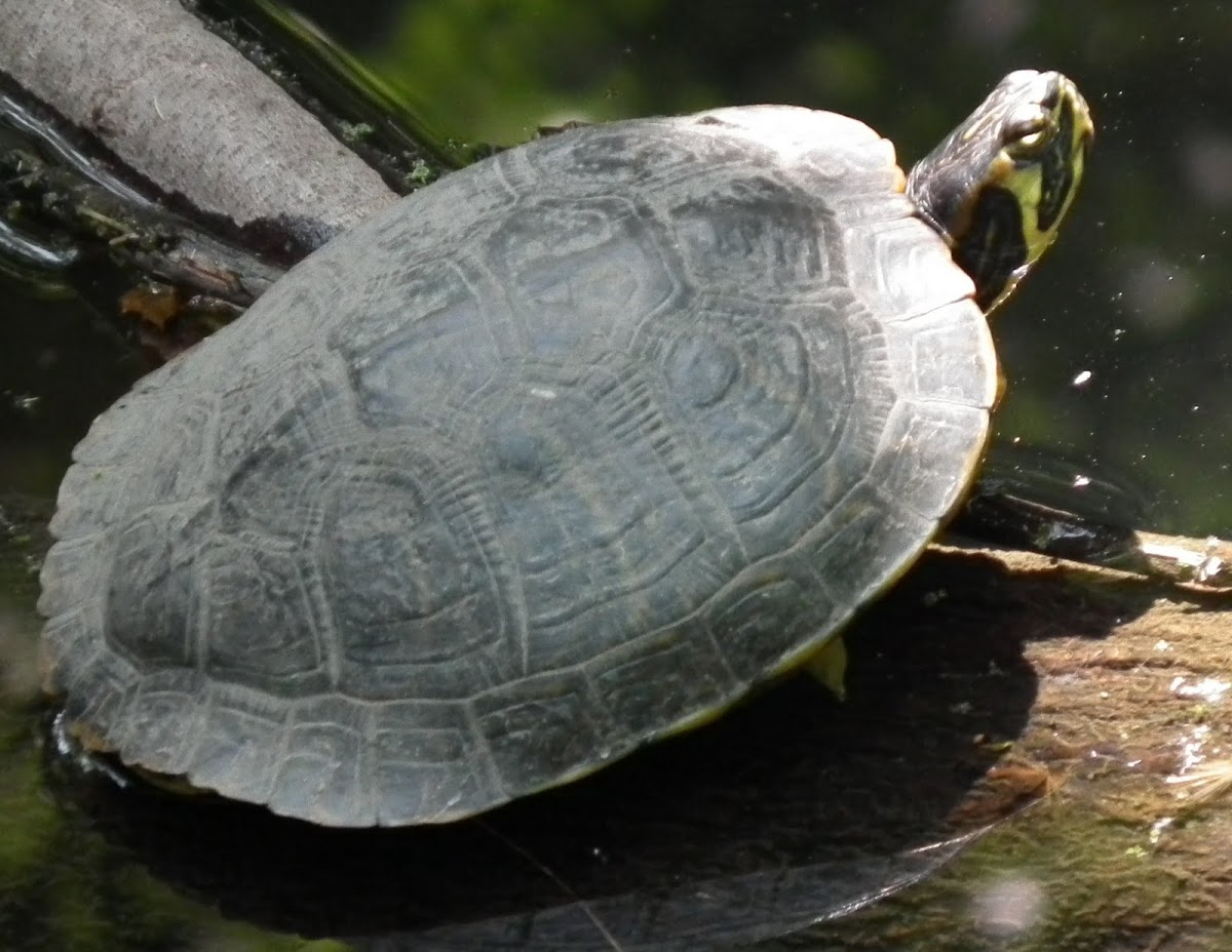 Hybrid Red-eared Slider, YellowBelly Slider