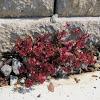 Sedum Blood Red