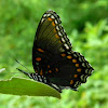 red-spotted purple, red-spotted admiral