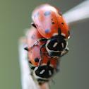 Convergent Ladybeetle