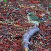 black throated blue warbler (female)