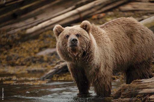 Silversea-Silver-Discoverer-Kamchatka-bear - Go meet the famous Russian bears when you sail to Kamchatka in far eastern Russia with Silver Discoverer.