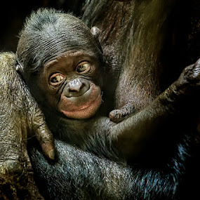 Eyes of a Child by Michael Pachis - Animals Other Mammals ( chimpanzee, bonobo, baby primate, memphis zoo, primate,  )