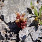 Red Stonecrop