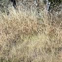 Gulf Chordgrass