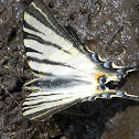 Rite swallowtail/Scarce swallowtail