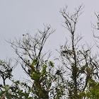 Kill Billed Toucan/Chachalacas