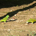 Tui Parakeet (left) / White-winged Parakeet (right)