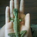 Young Philippine Sailfin Dragon
