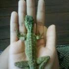 Young Philippine Sailfin Dragon