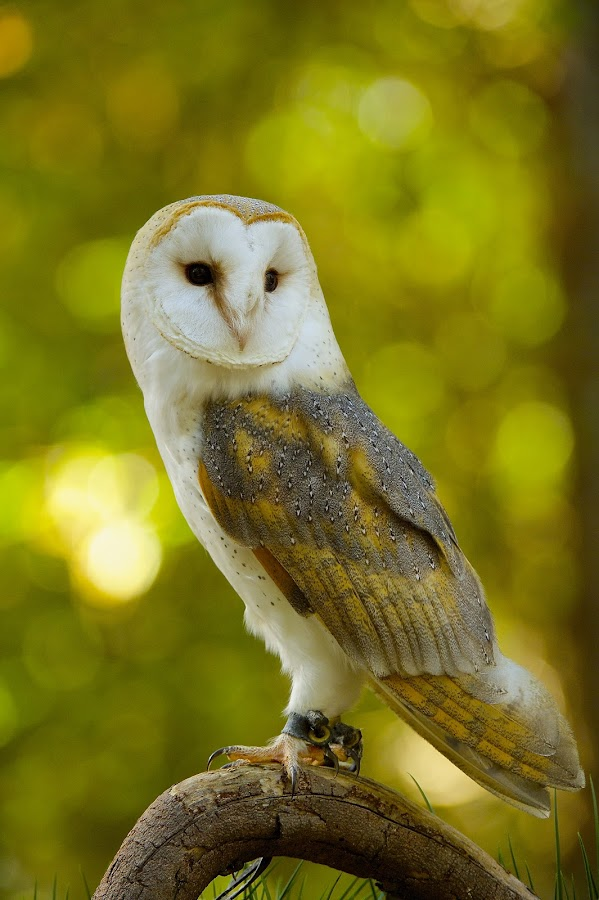 The Pose by Roy Walter - Animals Birds ( captivity, animals, barn owl, owl, birds, raptors )