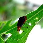 Orange-headed Flea Beetle
