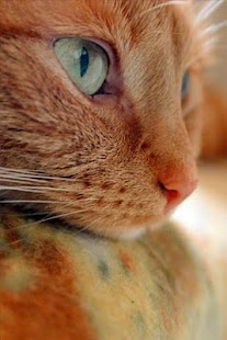 Cute Cat Backgrounds - screenshot thumbnail