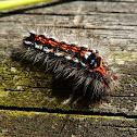 Yellow-tail/Swan Moth (caterpillar)