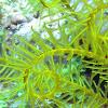 Golden Crinoid