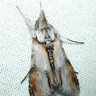 Hooded Owlet Moth