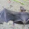 New Guinea naked-backed fruit bat