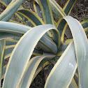 Century plant, Maguey