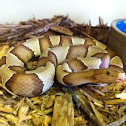 Copperhead (broadbanded)