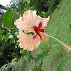 hibiscus hybrids