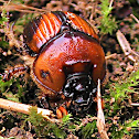 Beetle - Earth-boring Dung Beetle