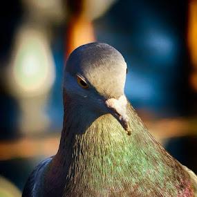 Smart pigeon by Vinko Radonic - Animals Birds ( pigeon )