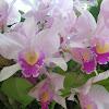 orquidia - orchid