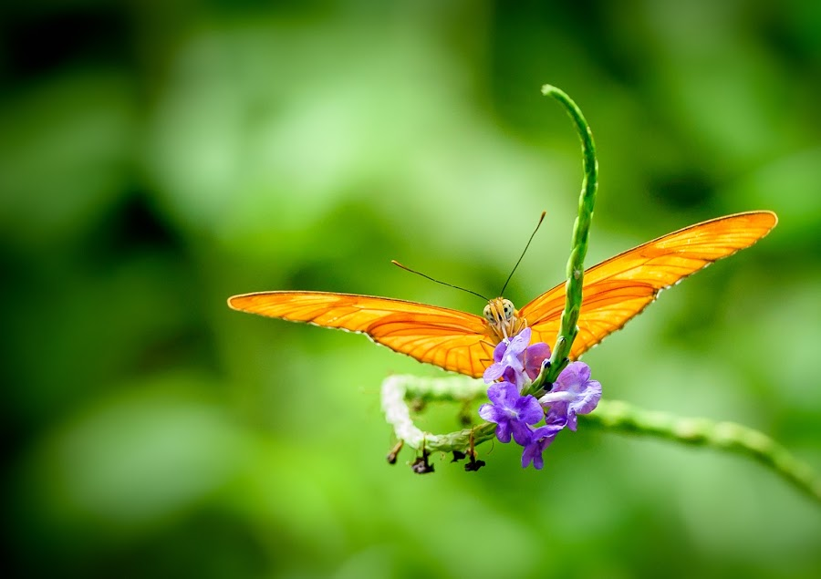 Orange Butterfly feeding by Keith L'Amour - Animals Insects & Spiders ( butterfly, orange, wings, feeding, spread )