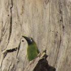 Curré (Emerald Toucanet)
