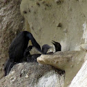 Brant's Cormorant