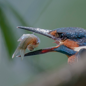 the catch by Riccardo Trevisani - Animals Birds ( riccardo trevisani, kingfisher, wildlife )