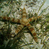 Warty mesh sea star