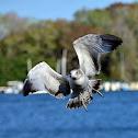 Ring-billed Gull, juvenile