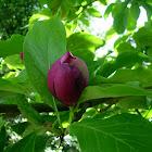 Magnolio. Magnolia