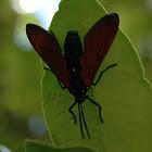 Spotted Oleander Caterpillar Moth