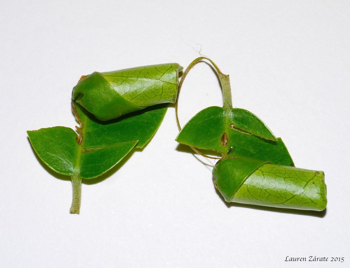 Rolled Leaves of Weevils