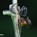 Twig Crab Spider