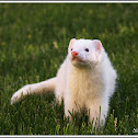 Domestic Ferret