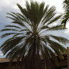 Hybrid Date Palm