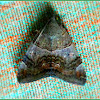 Castor Semi-Looper Moth